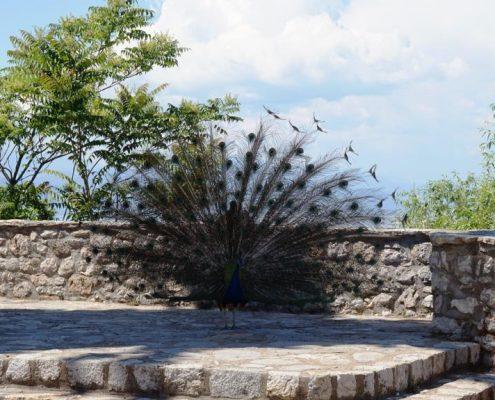 Påfugl i Ohrid